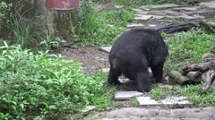 4k An adult Formosa Black Bear Pooping at a day hot summer on the zoo-Dan Stock Footage