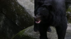 An adult Formosa Black Bear walking on the rock at the zoo-Dan Stock Footage