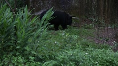An wild adult Formosa Black Bear walking for the tropical forest -Dan Stock Footage