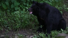 Adult Formosa Black Bear sit on the rock in the forest at a day hot summer-Dan Stock Footage