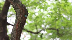 Two bird Taiwan Barbet fly from the hole nest on the tree at Forest Park -Dan Stock Footage