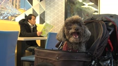 4k, A Miniature Poodle dog on the pet Carriage inside of the restaurant-Dan Stock Footage