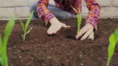 Woman Planting Organic Corn Gardening 5K HD Stock Video Footage Stock Footage