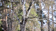 White trunk birch, buds on the branches in spring Stock Footage
