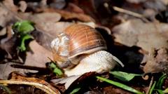 Snail eats green leaf close-up Stock Footage