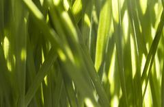 Nutritious homegrown Wheatgrass - stock photo