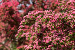 Flowers pink hawthorn. Tree pink hawthorn Stock Photos