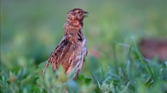 Common Quail. Song at dawn. Male. Sequence. Stock Footage