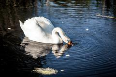 White swan on lake drinking water Stock Photos