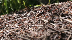 Red ants are building anthill. Stock Footage