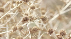 Dry flower thistle flower Stock Footage