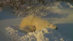 Adult Female Polar Bear and Her Cub - stock footage