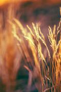 Autumn Nature Natural Background Of Dry Grass. Bokeh, Boke Grass - stock photo