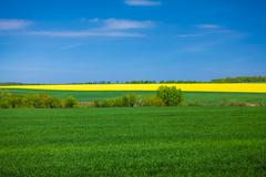 landscape of rapeseed field at sunny day - stock photo