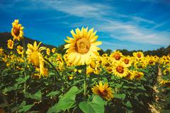 Bright yellow bloomng sunflowers field in sunny summer Stock Photos