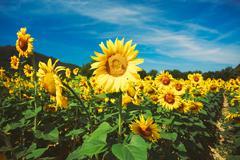 Bright yellow bloomng sunflowers field in sunny summer Kuvituskuvat