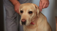 Dog being prepared for a wedding Stock Footage
