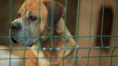 A dog sadly peers out of a cage. Stock Footage