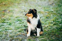 The Shetland Sheepdog, Sheltie, Collie Puppy Outdoor - stock photo