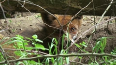 Red Fox (vulpes vulpes) hidden in a den in the soil, a fox earth - close up Stock Footage