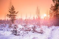 Sunset Sunrise In Sunny Winter Snowy Forest. Sun Shine Over Wint - stock photo