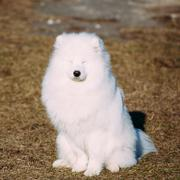 Funny Lovely Young White Samoyed Dog Outdoor - stock photo