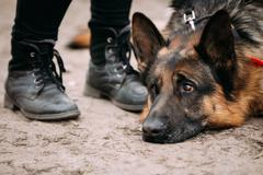 Close Up Sad Brown German Shepherd Dog Lying On Ground. Alsatian - stock photo