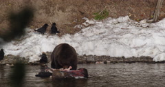 Four ravens watch grizzly gnaws on bones of dead bison in river Stock Footage