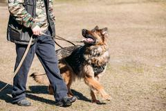 German Shepherd On Obedience Dog Training. Alsatian Wolf Dog - stock photo