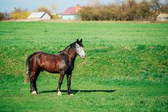 Brown Horse Grazing In Meadow With Green Grass In Summer Sunny D - stock photo