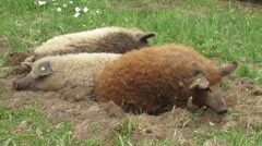Red Mangalitsa and Blonde Mangalitsa pigs lay down in meadow + shifting + get up Stock Footage
