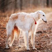 White Borzoi, Hunting Dog In Spring Autumn Forest - stock photo