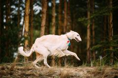 White Russian Borzoi Gazehound Running In Forest Stock Photos