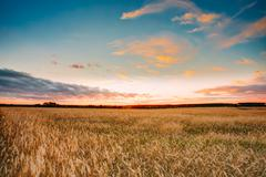 Rural Countryside Wheat Field At Sunset Sunrise Background. Colo Stock Photos