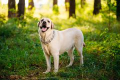 White Labrador Retriever Dog Looking Up, Forest, Park - stock photo