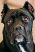 Cane Corso Whelp Puppy Dog Close Up - stock photo