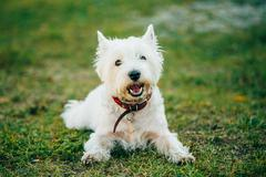 Small West Highland White Terrier - Westie, Westy Dog Stock Photos