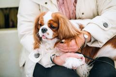 White and red Cavalier King Charles Spaniel Dog Stock Photos