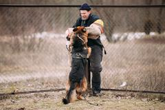 German shepherd dog training. Biting dog. Alsatian Wolf Dog. Deu - stock photo