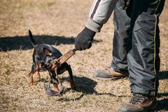 Miniature Pinscher Dog Training. Biting Zwergpinscher, Min Pin - stock photo
