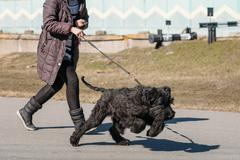 Black Giant Schnauzer Or Riesenschnauzer Dog Runs Outdoor - stock photo