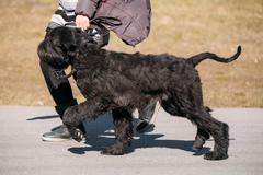 Black Giant Schnauzer Or Riesenschnauzer Dog Runs Outdoor Stock Photos