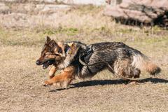 Fast Running German Shepherd Dog Training. Running Dog. Alsatian - stock photo