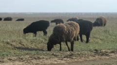 Mongolian steppe landscape with sheep and clear blue sky Stock Footage