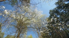 Looking up under the canopy of a plum tree Stock Footage