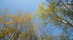 Looking up under the canopy of a trees. Spring - stock footage