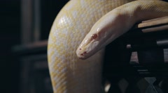 Albino Royal Phyton (Python regius) on a dark background Stock Footage