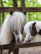 thoroughbred ponies in the paddock - stock photo