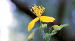 Flower Celandine in Poplar Pooh - stock footage