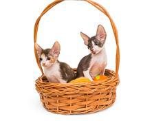 Kittens the breed Cornish Rex - stock photo